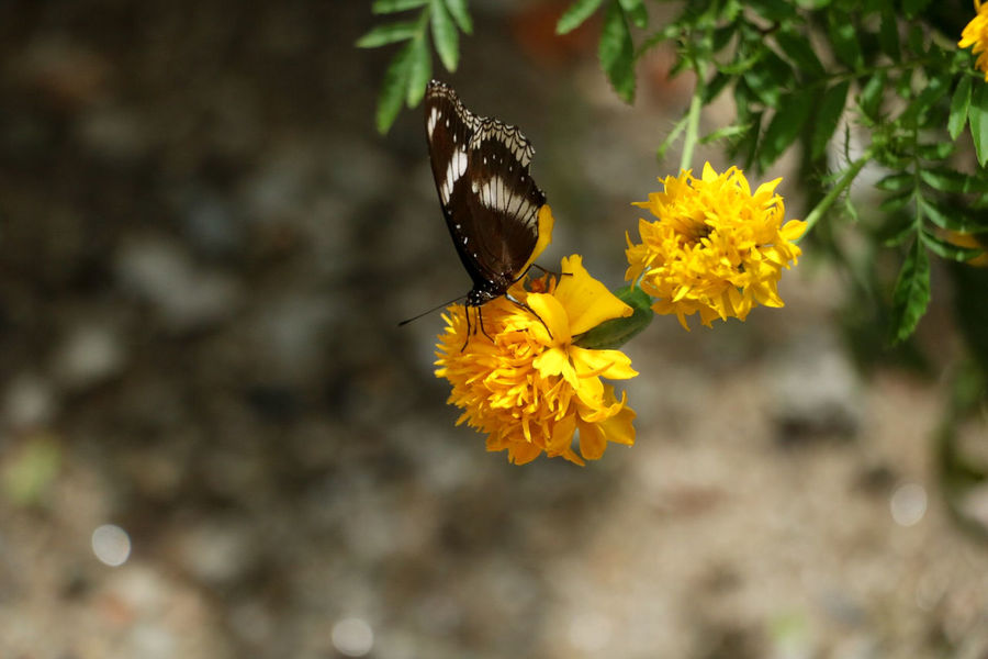 butterfly and flower Nature Nature Photography Animal Beauty In Nature Butterfly And Flowers Flower Flower Head One Animal Yellow Nature Nature Photography Animal Beauty In Nature Butterfly And Flowers Flower Flower Head One Animal Yellow