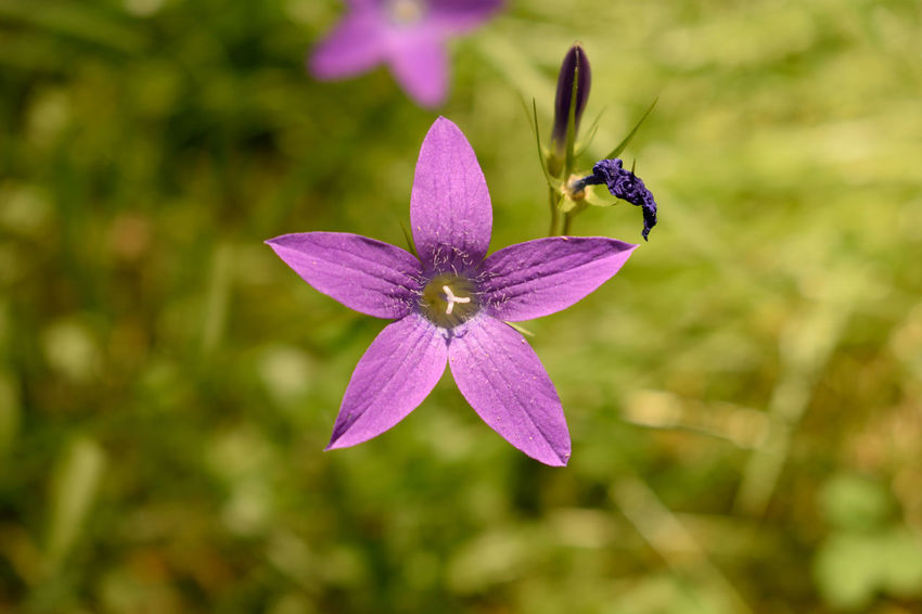 Campanula patula Campanula Patula Animals In The Wild Beauty In Nature Close-up Flower Flower Head Flowering Plant Fragility Freshness Growth Inflorescence Insect Invertebrate Nature No People One Animal Petal Plant Pollen Pollination Purple Vulnerability