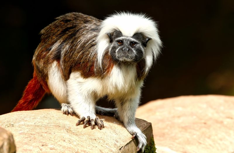 Cotton Top Tamarin Animal Animal Body Part Animal Hair Animal Head  Animal Themes Close-up Day Focus On Foreground Mammal Nature No People Outdoors Portrait Selective Focus Wildlife