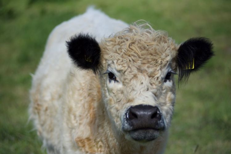 Close-up portrait of cow on field
