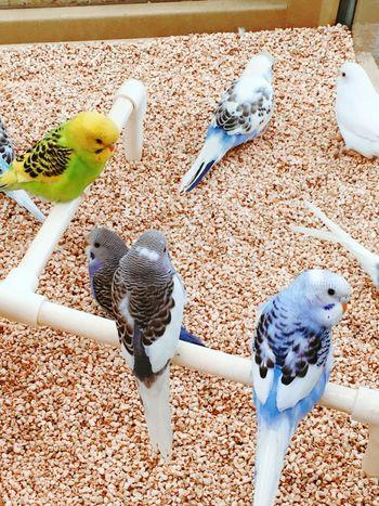 Birds Of EyeEm  Parakeets Pet Store