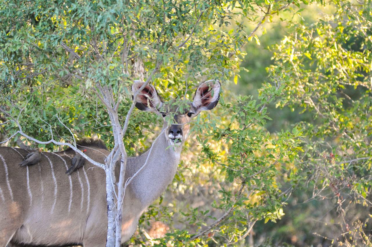 Kudu By Plants At Kruger National Park