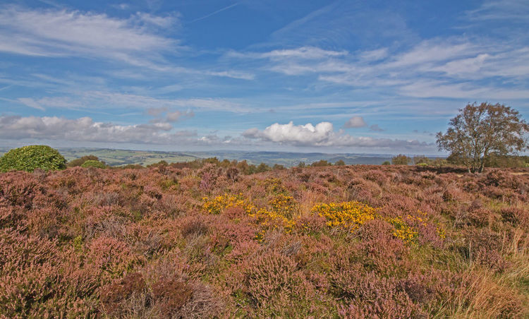 Autumnal Moorland Colour Autumn Colors Beauty In Nature Blue Calm Cloud Cloud - Sky Clouds And Sky Day Derbyshire Dales Gorse Flowers Heather Landscape_photography Moorland Wilderness Nature No People Non-urban Scene Outdoors Plant Remote Scenics Sky Stanton Moor Tranquil Scene