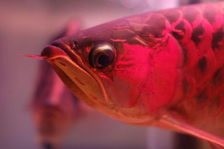 Arowana Arowana Fish Fujifilm Fujifilm_xseries X-T20 Vertebrate Close-up One Animal Red Fish