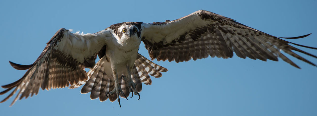 The Hunter Avian Bird Of Prey Clear Sky Hunting Nature No People Ospreys Spread Wings Eyeem Collection