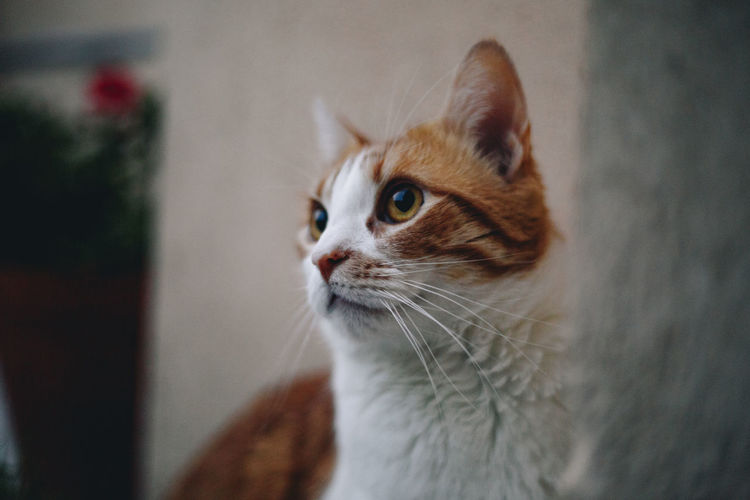 Domestic Cat Domestic Cat Pets Feline Domestic Animals Animal Themes One Animal Animal Looking Looking Away Whisker No People Close-up Animal Body Part Focus On Foreground Animal Head  Ginger Cat Animal Eye Staring Looking Away Looking Away Cat Ginger Cat Love