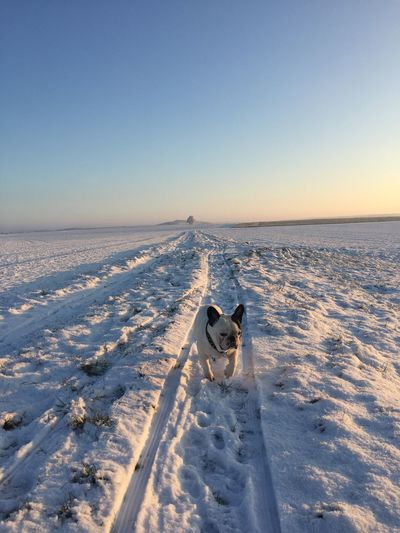 Dog on snow covered sea against clear sky during sunset