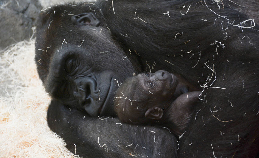 Gorilla relaxing with infant at zoo