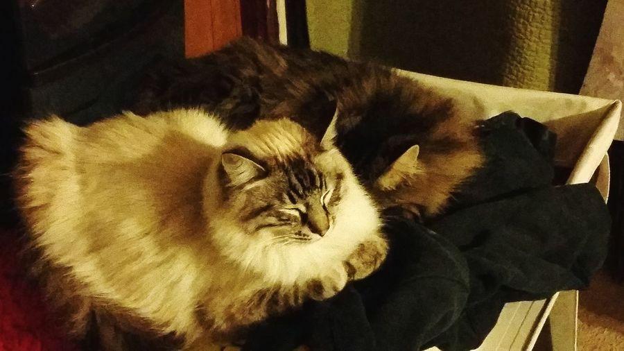 Petlover Sleepy Kitty Kitty Cat Catlady Cuddletime Cuddlin Kittens Kitties Nap Time Cat♡ Crazy Cat Lady