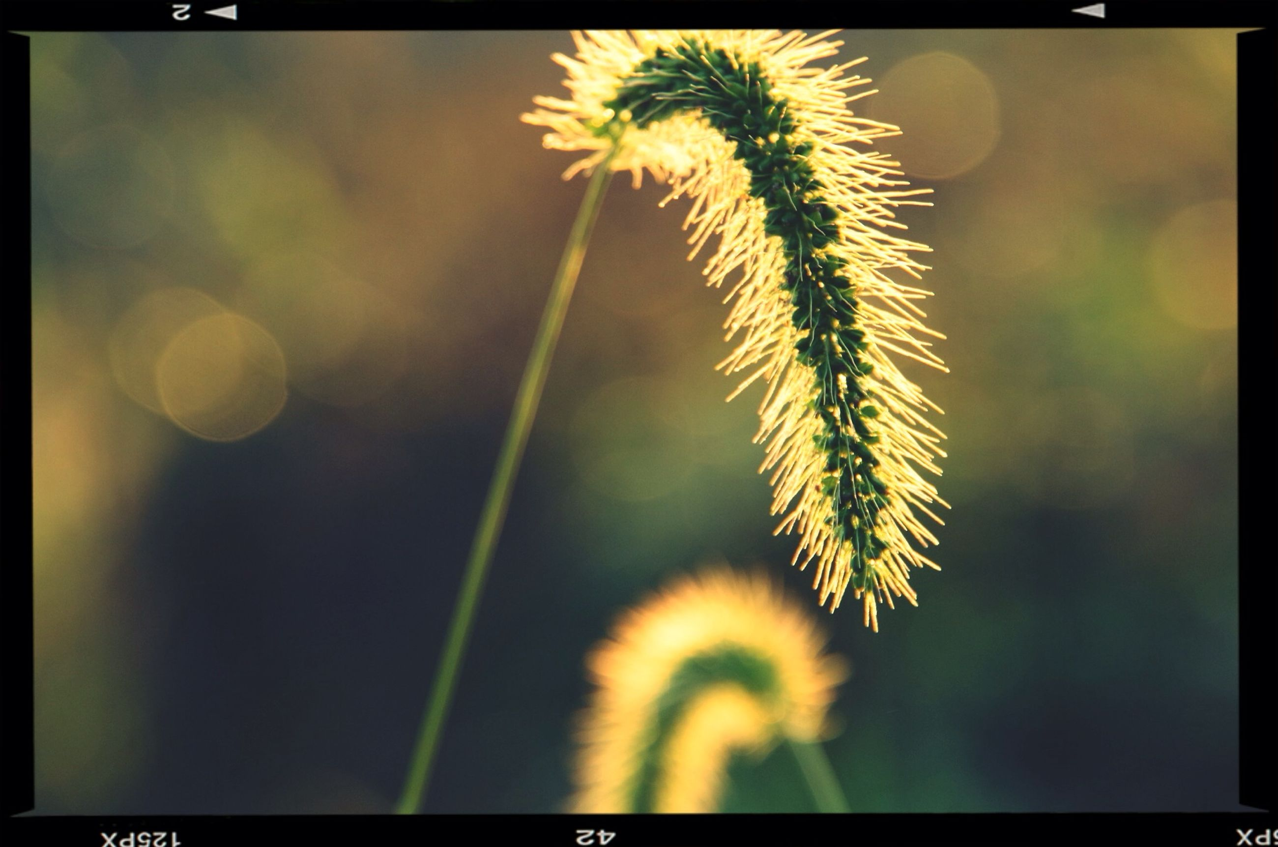 transfer print, auto post production filter, growth, focus on foreground, close-up, nature, beauty in nature, plant, flower, stem, fragility, dandelion, selective focus, outdoors, no people, spiked, freshness, day, tranquility, botany