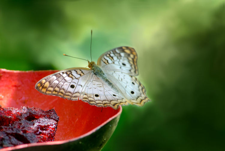 A white peacock butterfly rests on the edge of a colorful dish filled with water for the insects