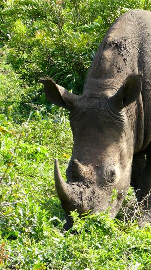 Animal Themes Animals In The Wild Beauty In Nature Grass Hlu Hluhluw-imfolozi Park Hluhluwe Hluhluwe-imfolozi Kwazulu Natal Kwazulunatal Nashorn Nature Naturphotography Naturphotos No People Outdoors Rhino Rhinoceros Rhinos Southafrica SouthAfrican Südafrika