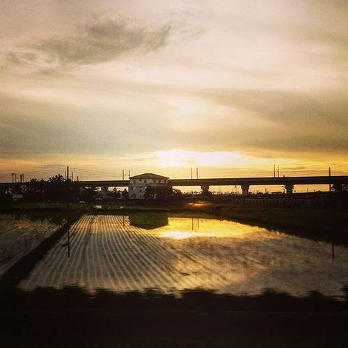 金色水稻 2015  0816 自強號上