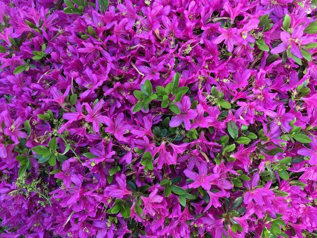 Full Frame Backgrounds Plant Flowering Plant Pink Color Beauty In Nature Flower Nature