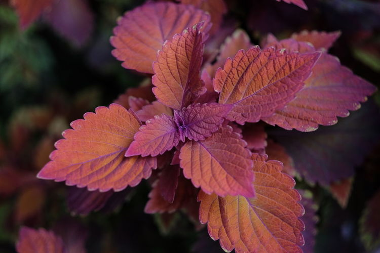 Autumn Leafs Beauty In Nature Close-up Day Flower Flower Head Flowering Plant Focus On Foreground Fragility Freshness Growth Inflorescence Nature No People Outdoors Petal Pink Color Plant Plant Part Pollen Red Vulnerability