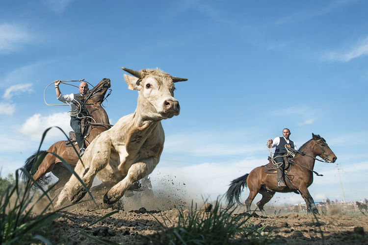 Animal Sky Mammal Animal Themes Day Outdoors People Only Men Adult Wide Angle Tuscia  Scenics Sport MERCA Cow Cowboy Butteri Horse Horse Photography  Rodeo Game Perspectives On Nature Go Higher