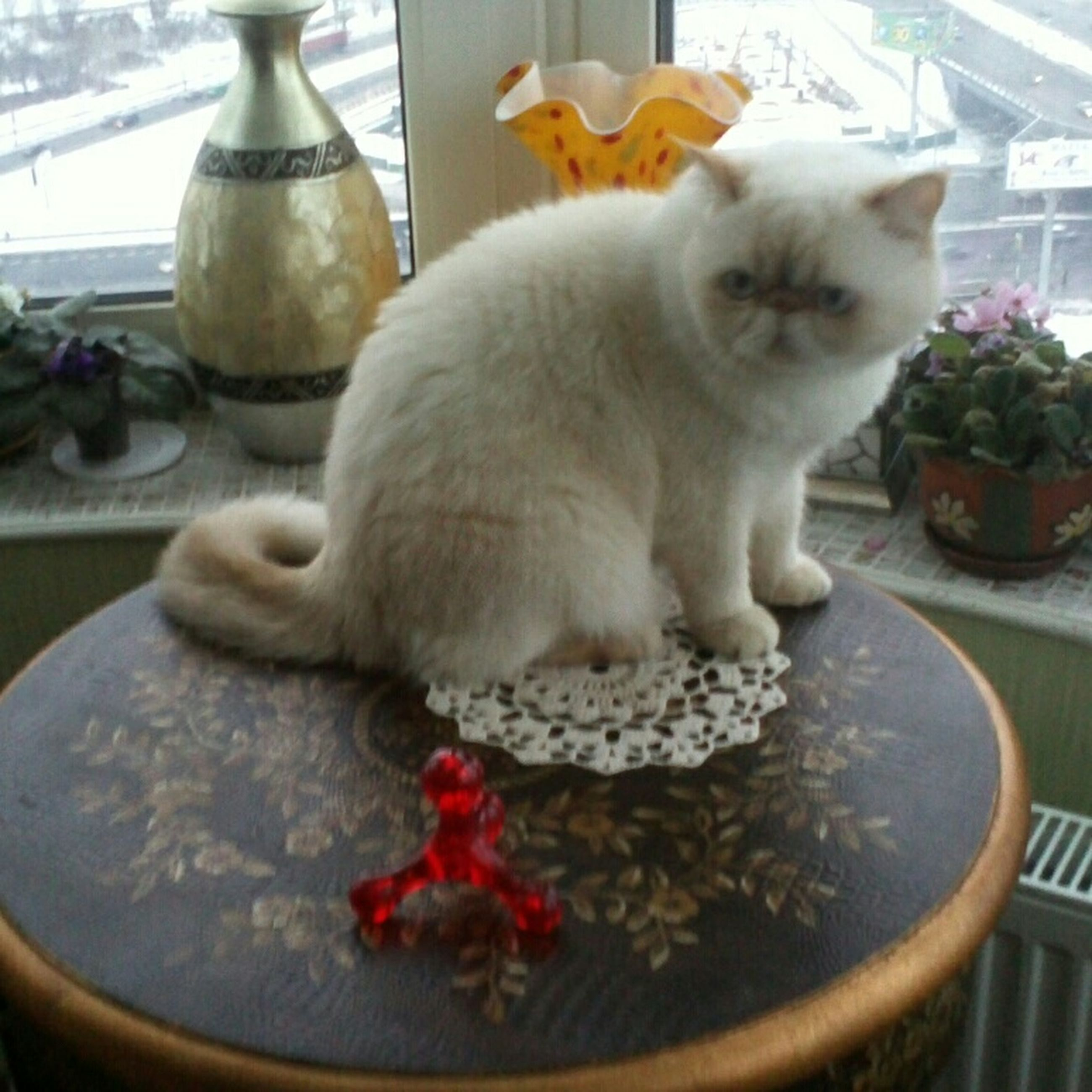 pets, animal themes, domestic animals, domestic cat, one animal, indoors, cat, mammal, feline, whisker, close-up, table, sitting, home interior, relaxation, potted plant, no people, glass - material, looking at camera, portrait
