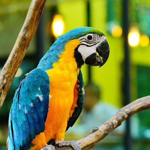 Bird Macaw Gold And Blue Macaw Parrot Bird Perching Multi Colored Blue Close-up Zoo Animals In Captivity Pets Birdcage