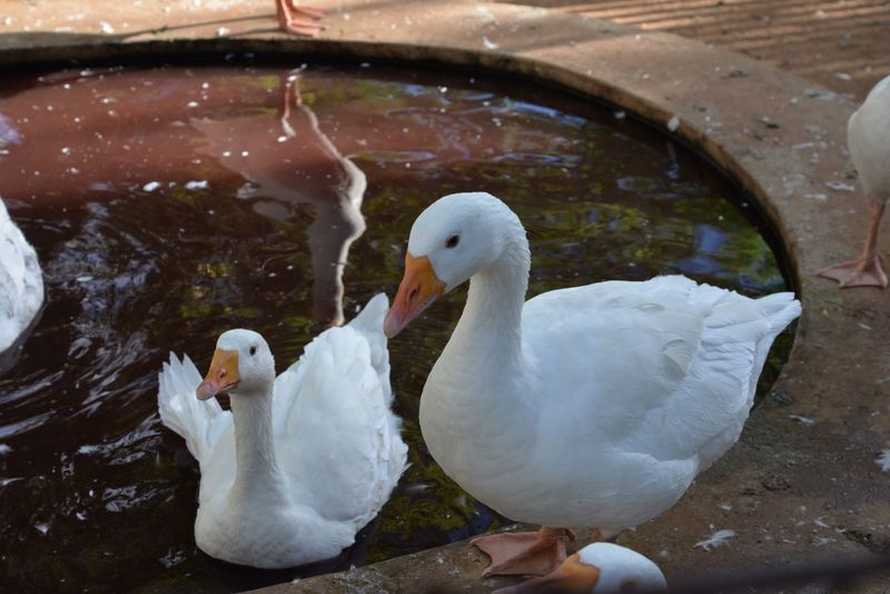 Geese Animal Bird Farm Animals Geese Swan Water Animal Themes Animals In The Wild White Color Lake Swimming Floating On Water Water Bird Beak No People Day Nature Animal Wildlife Young Animal Cygnet Outdoors Close-up Hartebeespoort Hartbeespoort Dam Animal Family