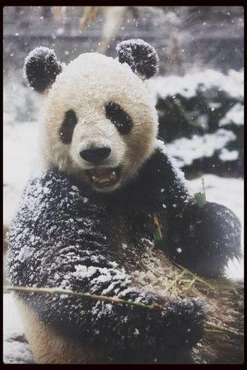 This animal, is so beautiful Panda Bear Beautiful ♥ Black & White