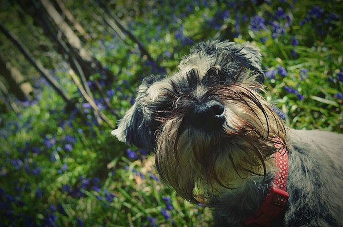 Woodland Bluebells My Dog Dogs Miniature Schnauzer Schnauzer Terrier Pets Cute Pets Woods WoodLand Woodlands Woodland Walk Dog Walking Bluebells Beauty In Nature Nature Nature Photography EyeEm Nature Lover United Kingdom Nikon D3200