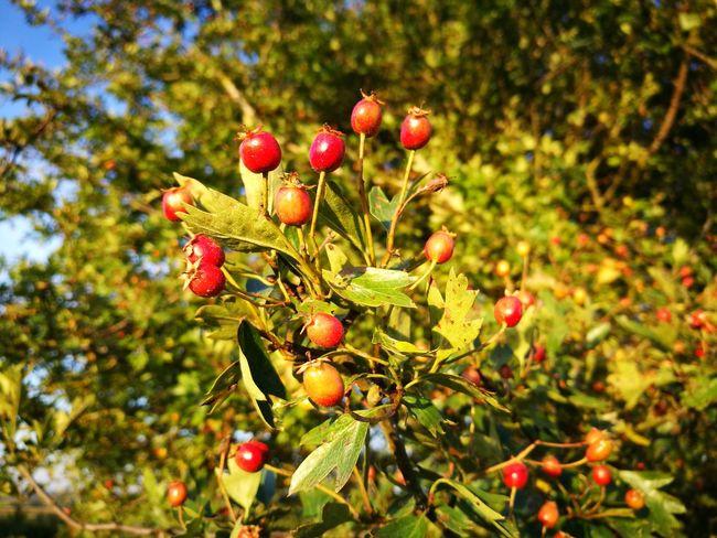 Hawthorn Hawthorn Tree Hawthorn BerriesHawthorne Tree Hawthorne Hawthorne Berries Berries