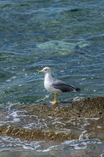 Seagull standing on the rocks of the shoreline waiting patiently Alone Freedom Animal Themes Animal Wildlife Animals In The Wild Aqua Bird Blue Day Environment Fauna Nature No People Ocean One Animal Outdoor Outdoor Photography Outdoors Portrait, Real Life Sea Seabird Seagull Seaside Water