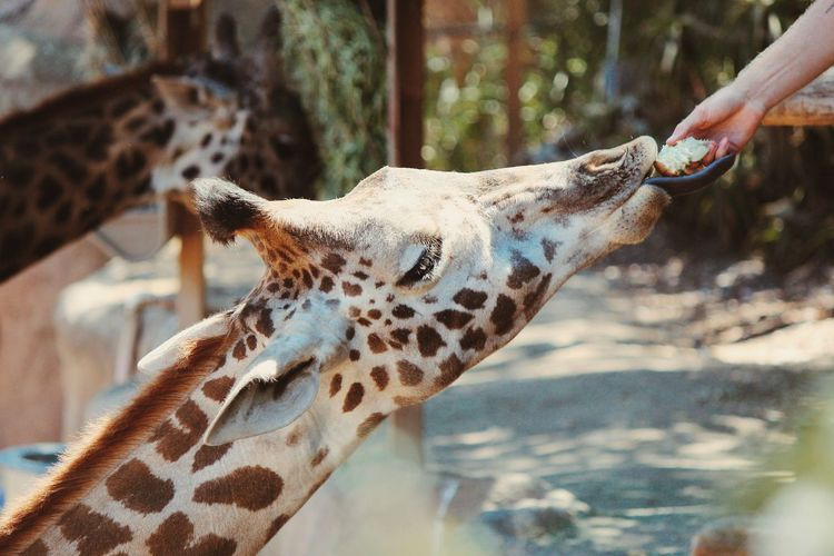 Cropped Image Of Hand Feeding Giraffe At Santa Barbara Zoo