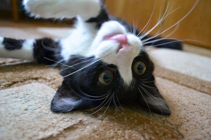 Котейко) Pets Domestic Cat One Animal No People Day Animal Themes Cat At Home день ıllichivsk IlIchevsk Ukraine 💙💛 черноморск Украина♥ ильичевск Watching кот Домашний питомец