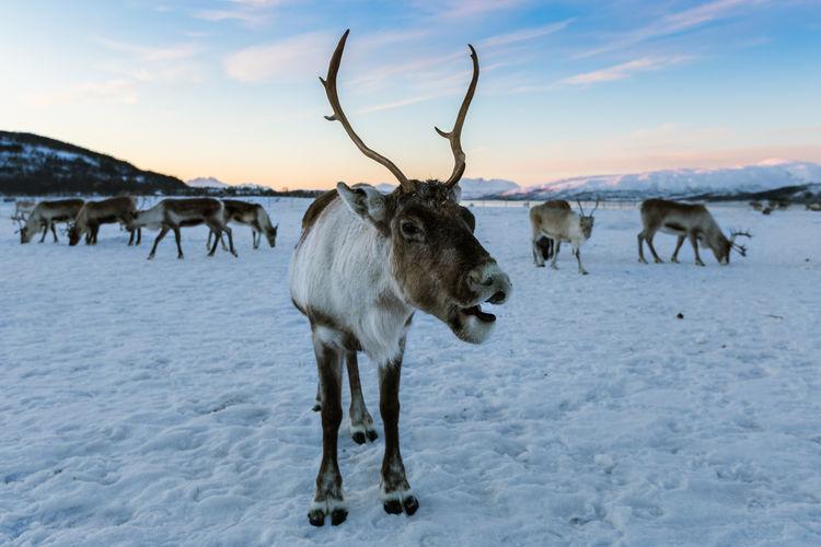 Reindeer Sami Animal Themes Cold Temperature Mammal Outdoors Sami Camp Winter