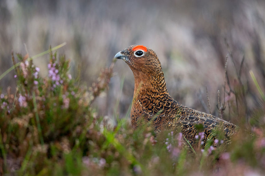 Red Grouse in autumn Red Grouse Lagopus Lagopus Scoticus Schottisches Moorschneehuhn Animal Themes Animal Wildlife Animals In The Wild Beauty In Nature Bird Close-up Day Glorious Twelfth Of July Hathersage Nature No People North Yorkshire Moors One Animal Outdoors