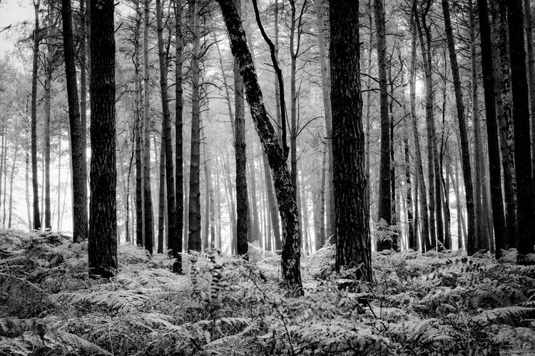 Beauty In Nature Blackandwhite Day Forest Growth Horizontal Landscape Nature No People Non-urban Scene Outdoors Scenics Sky Tranquility Tree Tree Trunk WoodLand