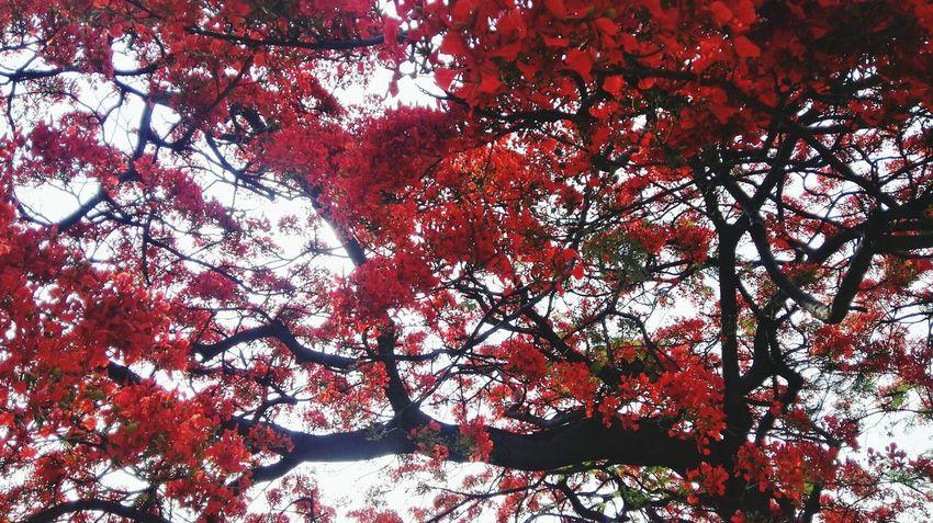 凤凰树系列4 Tree Branch Backgrounds Red Full Frame Close-up Sky