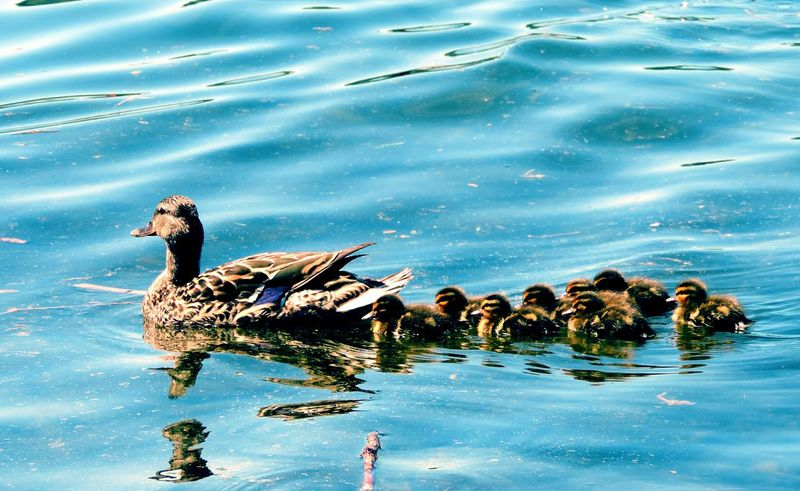 Animals In The Wild Water Animal Themes Bird Lake Waterfront Animal Wildlife Nature No People Swimming Beauty In Nature Outdoors Day Ducks Duck Family Mama Duck Ducklings