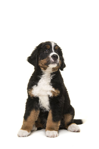 Cute puppy sitting against white background