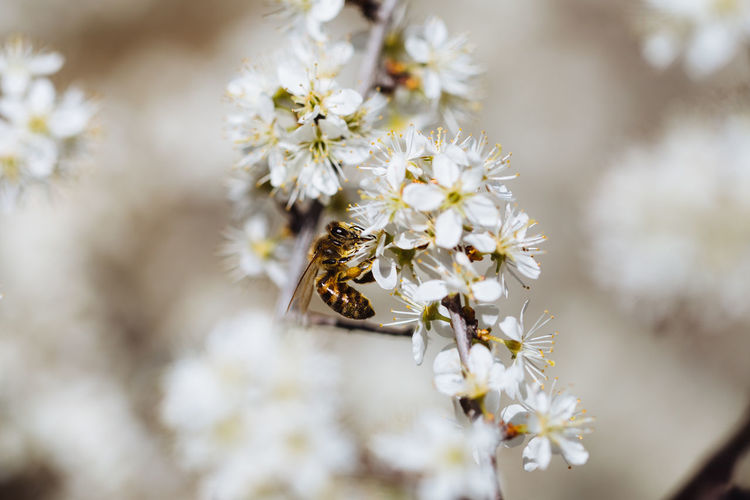 Bee on flower Invertebrate Flower Animal Themes Insect Beauty In Nature Animals In The Wild Flowering Plant Fragility Freshness Animal Wildlife Close-up Vulnerability  Bee White Color Flower Head Pollen Pollination Springtime Macro Photography Spring Nature EyeEm Best Shots