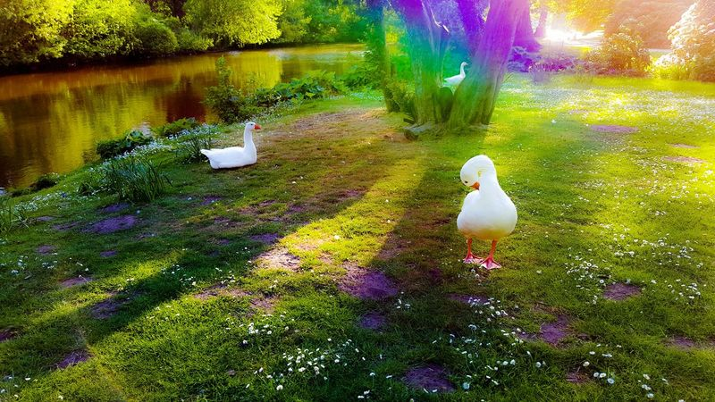 Rainbow Rainbows Rainbow Colors Rainbow Loom Birds Bird Photography Goose Gooses Goose Chick Park Parks Park Life Tree Trees Meadow Meadow Flowers Nofilter Sunshine Sunshine ☀ Sunshine Day Feathers White Color Green Green Color White