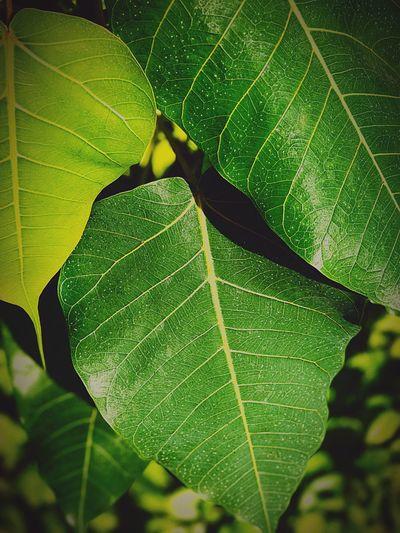 ใ บ โ พ ธิ์ สี เ ขี ย ว Leaf Green Color Leaf Vein Nature Close-up Growth Beauty In Nature Animal Themes No People Outdoors Day Freshness Freshness Backgrounds Green Color Eyeem Background