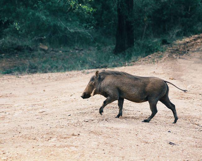 Side view of boar walking on landscape