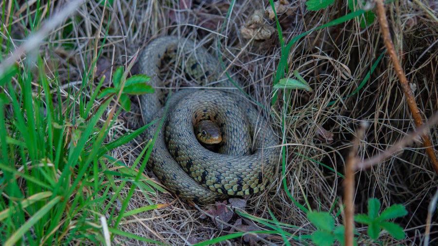 Grass snake viper adder coiled under small tree showing tongue