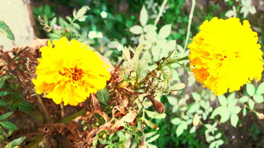 Yellow Flowers Yellow Light Be Yellow Lovely Flower  Flower Collection Flowers,Plants & Garden Flowerlovers Flower Photography Captured Moments