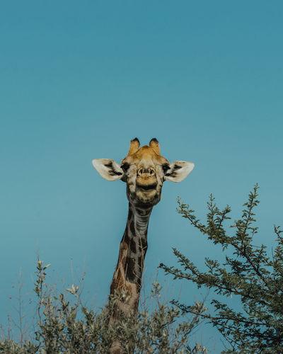 Portrait of giraffe against clear blue sky