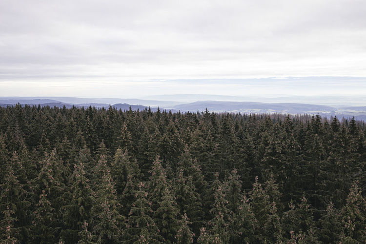 High angle view of pine trees in forest against sky