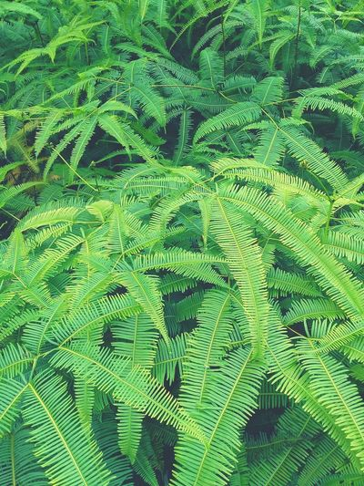 Green Fern Leaves Pure Beautiful Nature Beautiful Beautiful Day Green Nature Backgrounds Close-up Green Color Leaves Leaf Fern Full Frame Leaf Vein Calm Growing Green Translucent Natural Pattern In Bloom Woods Shaped EyeEmNewHere