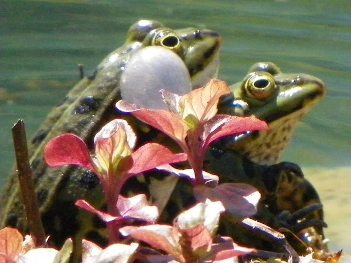 In der Natur findet man die schönsten Motive Nature Wildlife & Nature Nature Photography Garden Photography Frösche Teichfrosch Teich Water Flower Head