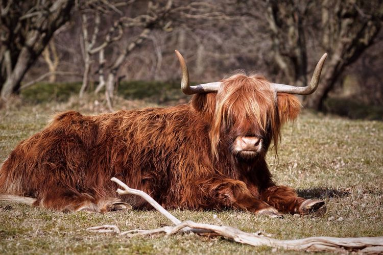 Yes ! It's an Highland Cow in the Lowlands Again!  Highland Cattle Schotse Hooglanders