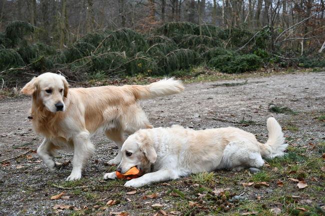 Dogs Golden Golden Retriever Hund Day Dog Domestic Animals Hunde Hunde Im Wald Hundefotografie Labrador Retriever Mammal Outdoor Outdoors Pets Pets Of Eyeem Playing Dogs Retriever Retrieveroftheday