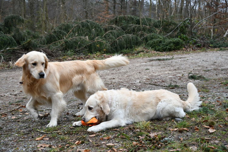 Dogs Golden Golden Retriever Hund Day Dog Domestic Animals Hunde Hunde Im Wald Hundefotografie Labrador Retriever Mammal Outdoor Outdoors Pets Pets Of Eyeem Playing Dogs Retriever Retrieveroftheday