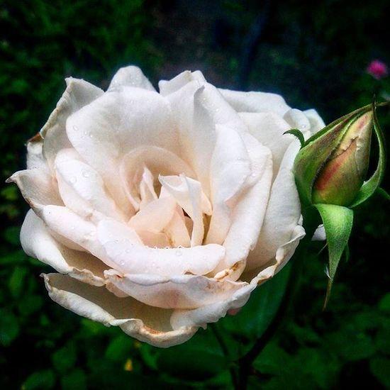 Günaydın Sonbahar :) Eylül de gidiyor ne çabuk geçti yaz . Goodmorning Lastofsummer Beauty Whiterose Raindrops Autumn Rosé Rain Nature Pure Nofilter Eyesofmoon VSCO Vscocam