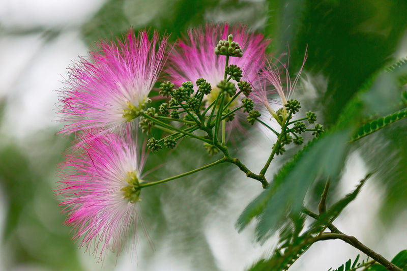 Albizia julibrissin in Monet Gardens in Giverny, France Albizia Albizia Julibrissin France Monets Garden Beauty In Nature Close-up Day Flower Flower Head Fragility Freshness Growth Monet Gardens Nature No People Outdoors Pink Color Plant Purple Thistle